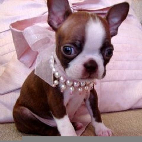 Regalo boston terrier cachorros para adopcion
