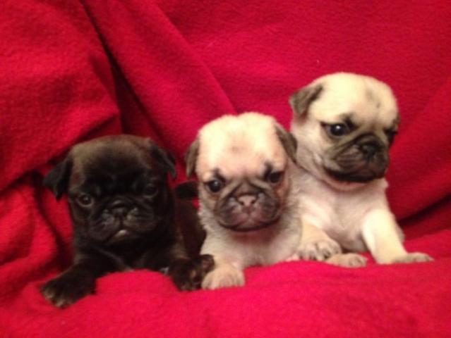 Regalo machos y hembras hermosos cachorros Pug Carlino disponib