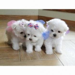 Cachorros malteses de 11 semanas con excelente temperamento buen