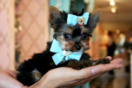 Mini Yorkie Tacita De Te Taza Vendo Cachorro Yorky Terrier Regalo