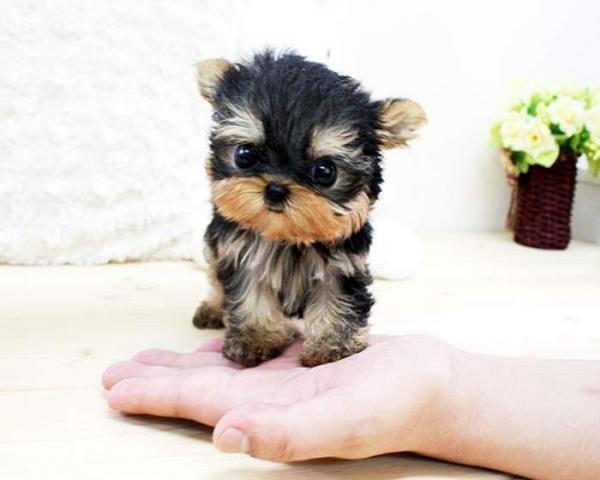Pequeño perrito de pura raza yorkshire terrier