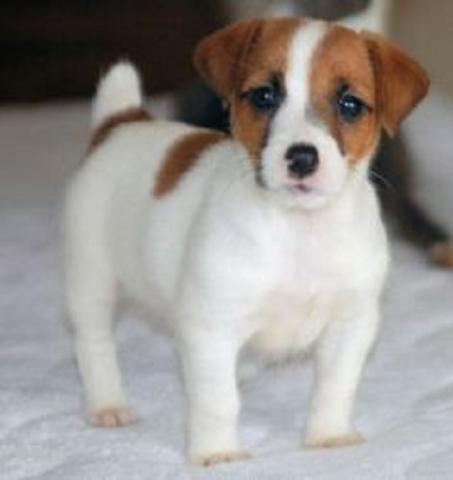 Cachorros fantásticos jack russell para la adopción