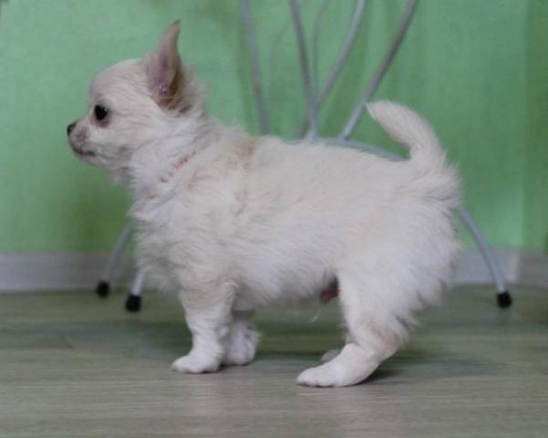 Chihuahua guapo y saludable para la venta