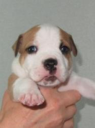 Cachorros american staffordshire terrier se venden cachorros