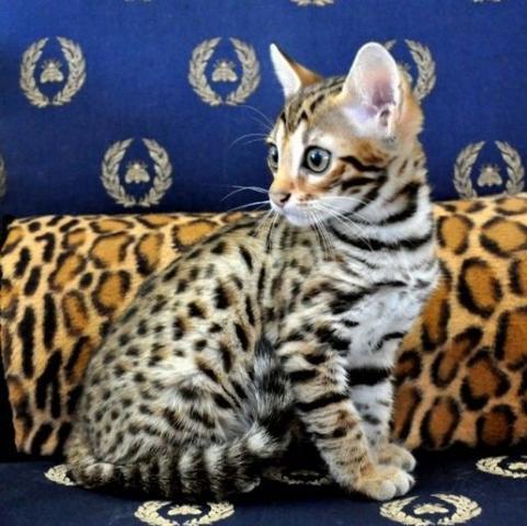 Regalo gatitos super lindos de Bengala para su adopción