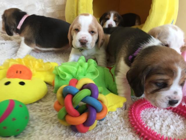 REGALO Beagle cachorro para su adopcion