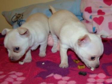 REGALO Chihuahua Mini Toy Para Adopcion