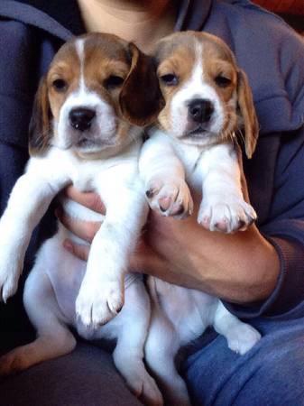 REGALO Beagle Cachorros Para Adopcion