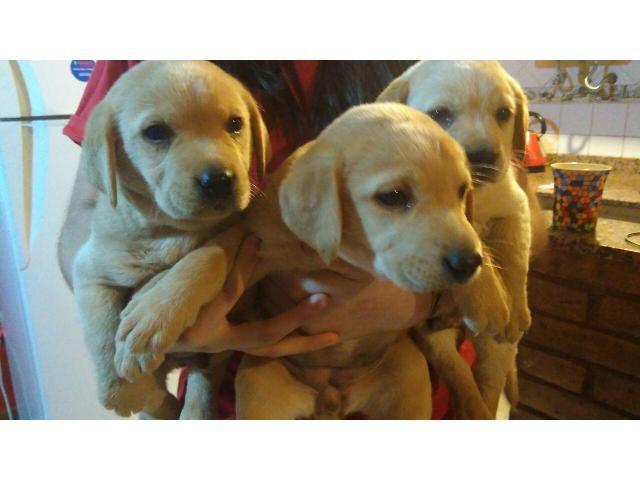 VENDO HERMOSOS cachorros de LABRADOR dorados