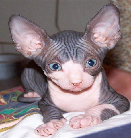 Regalo dulce sphynx gatitos ,,3