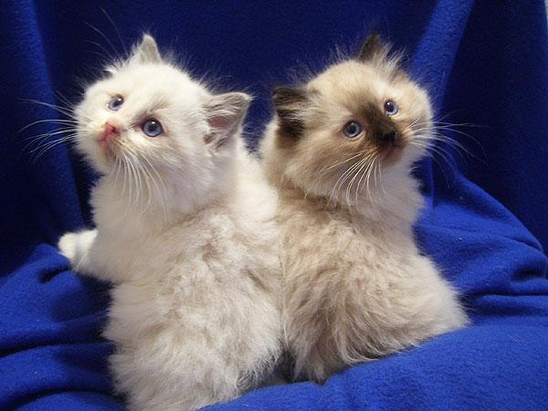 Regalo hermoso gatito de adobe ... ragdoll