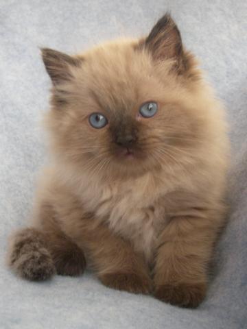 Regalo gatitos ragdoll para la adopción