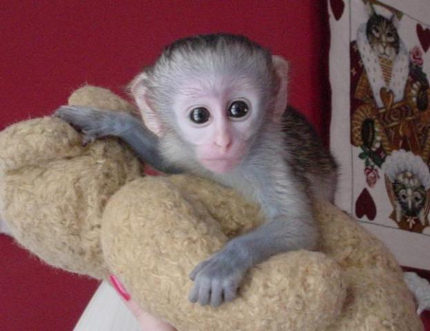 monos capuchinos para adopción