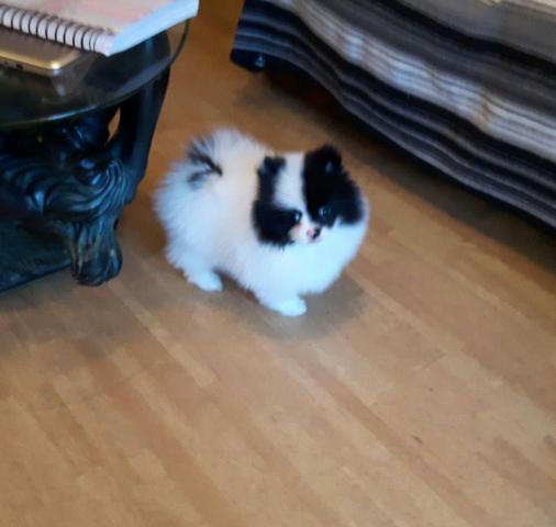 Regalo mini toy taza de te Pomeranian para adopcion