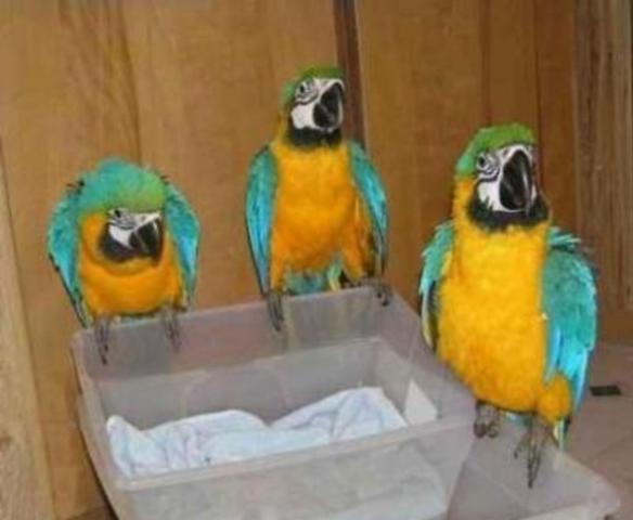 loros macho y hembra azul y oro guacamayos y jaula
