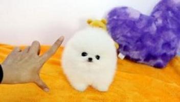 Regalo pomeranian cachorros mini toy