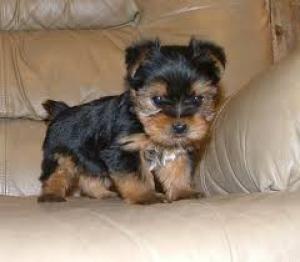 Regalo preciosa yorkshire terrier cachorros toy