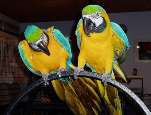 Hablando azul y oro loro guacamayo par para la venta.