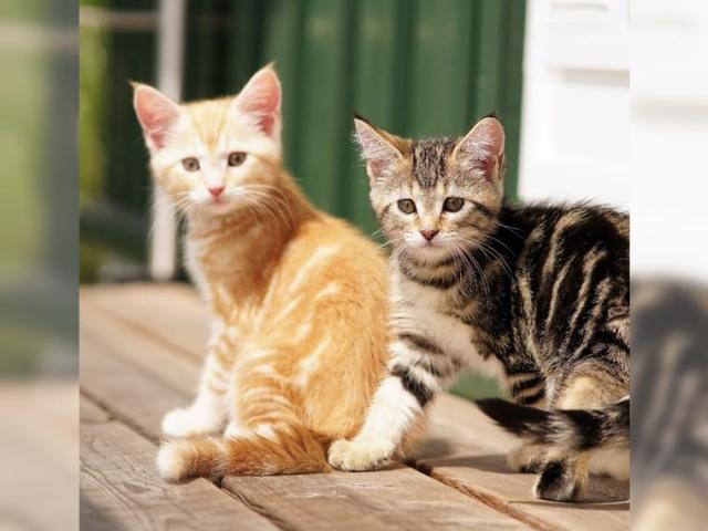 Preciosos gatitos MAINE COON.