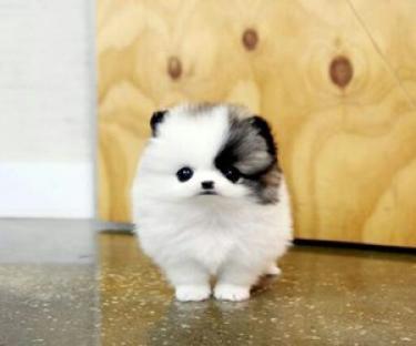 Regalo lindo toy pomeranian cachorros hermosa