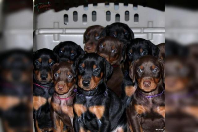 Cachorros de raza doberman machos y hembras