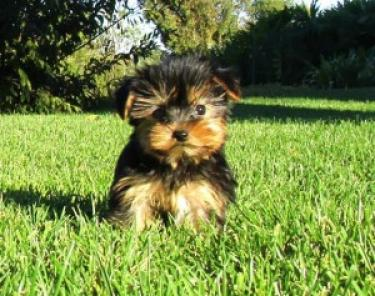 Cachorros de Yorkshire terrier extremadamente lindos disponibles