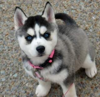 REGALO Cachorros de husky siberiano
