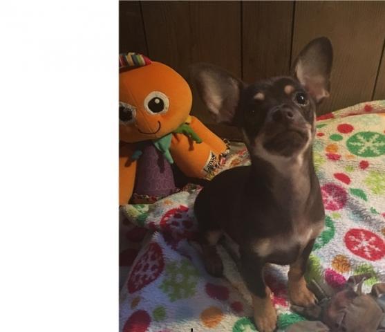 Oferta cachorros de chihuahua miniatura