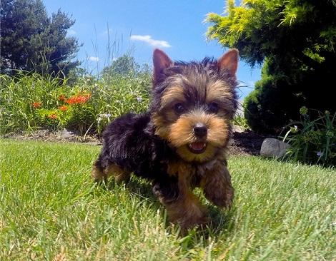 Regalo mino toy yorkshire terrier cachorros
