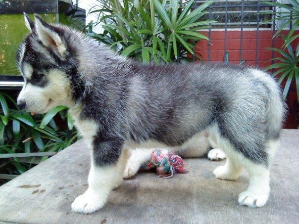 REGALO Husky Siberiano Cachorros Para Adopcion