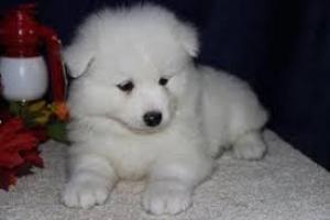 Cachorros de raza pura Samoyedo para la adopción