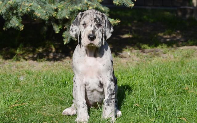 Gran danes cachorros para adopcion ff