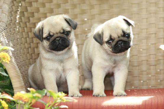 Estupendos cachorritos de carlino
