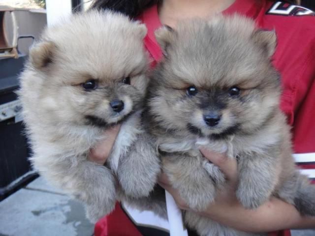 Tenemos cachorros husky siberianos