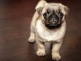 Regalo hermosas y bien entrenados cachorros pug carlino para adop