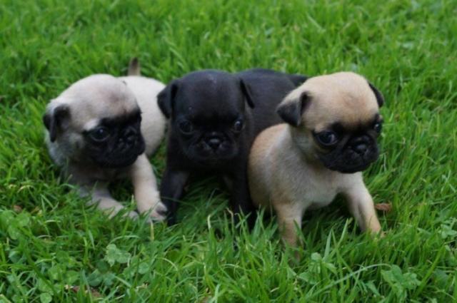 Regalo excelentes cachorros carlino