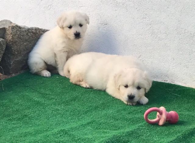 Goldens retrievers cachorros listos para entregar.