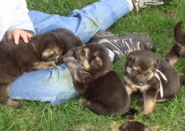 cachorros pastor aleman pura raza