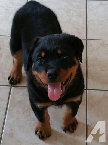 Regalo Rottweiler para adopcion