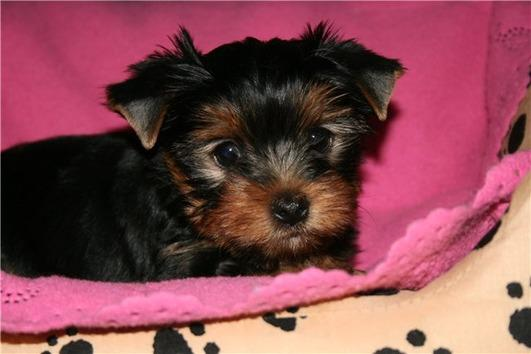 Regalo cachorro yorkshire terrier