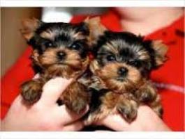 Regalo Cachorros Yorkshire Terrier para su adopcion