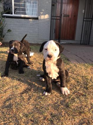 Regalo cachorro pitbull blue atigrado macho