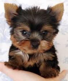 Gratis hermosas hermosas yorkshire terrier cachorritas