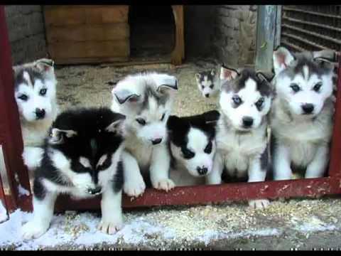 Regalo Cachorros de husky para adopción gratuita