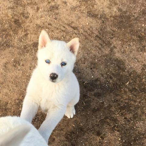 Husky siberiano entrenado casero adorable para la adopcion