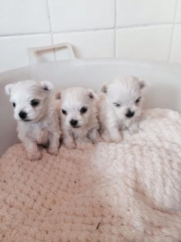Regalo cachorros maltés para adopción