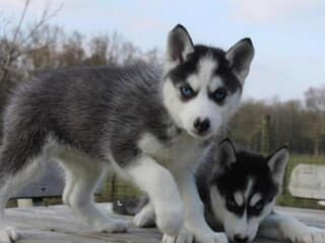 Regalo Husky Cachorros Para La Adopcion