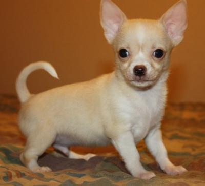 REGALO Chihuahua Mini Toy Para Su Adopcion