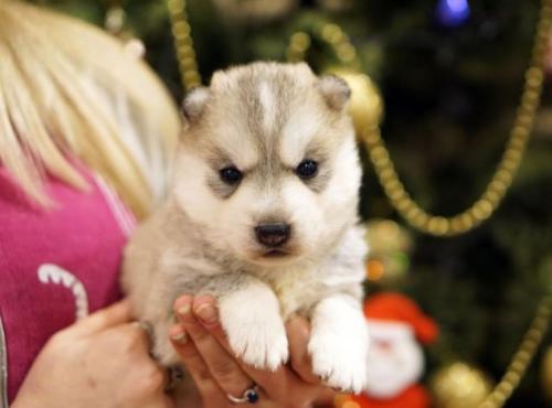 Regalo Siberian Husky cachorros para la adopc