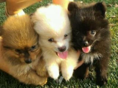 REGALO cachorro Pomerania para adopcion